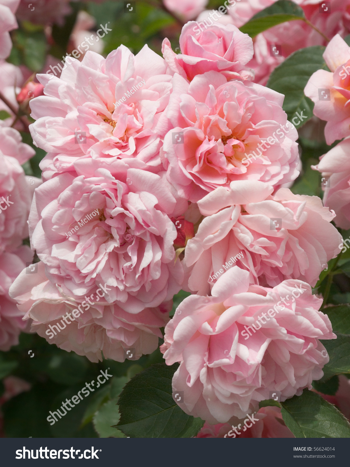 Tightly Packed Cluster Of Scented Pink Flowers On The Old