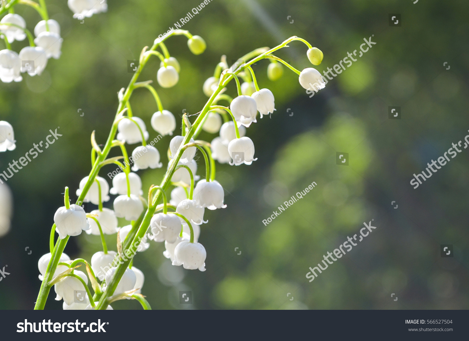 Closeup Lily Of The Valley In Selective Focus On Natural Background