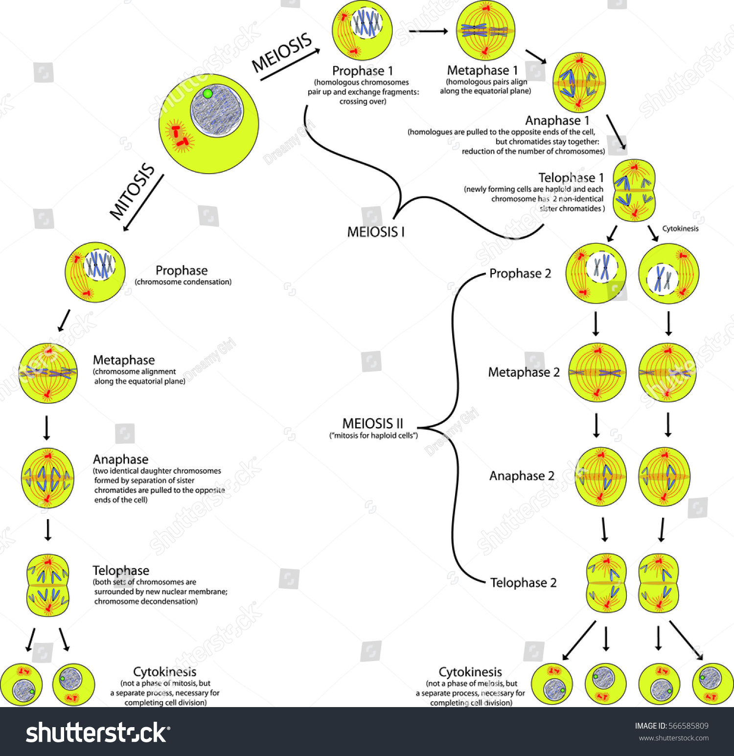 Mitosis meiosis comparison phases scheme explanation stock vector mitosis and meiosis comparison of phases scheme with explanation pooptronica