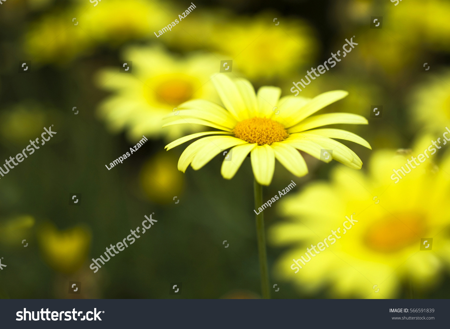 Close Yellow Daisy Like Marguerite Flower Stock Photo Edit Now