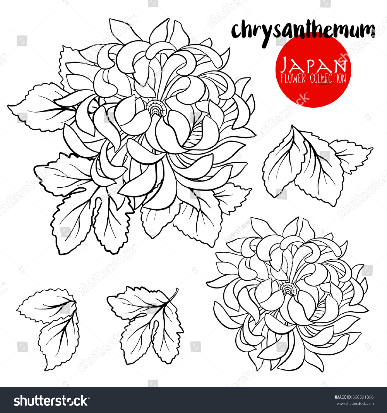 Chrysanthemum Flower Line Drawing : Chrysanthemum flowers stock line vector illustration