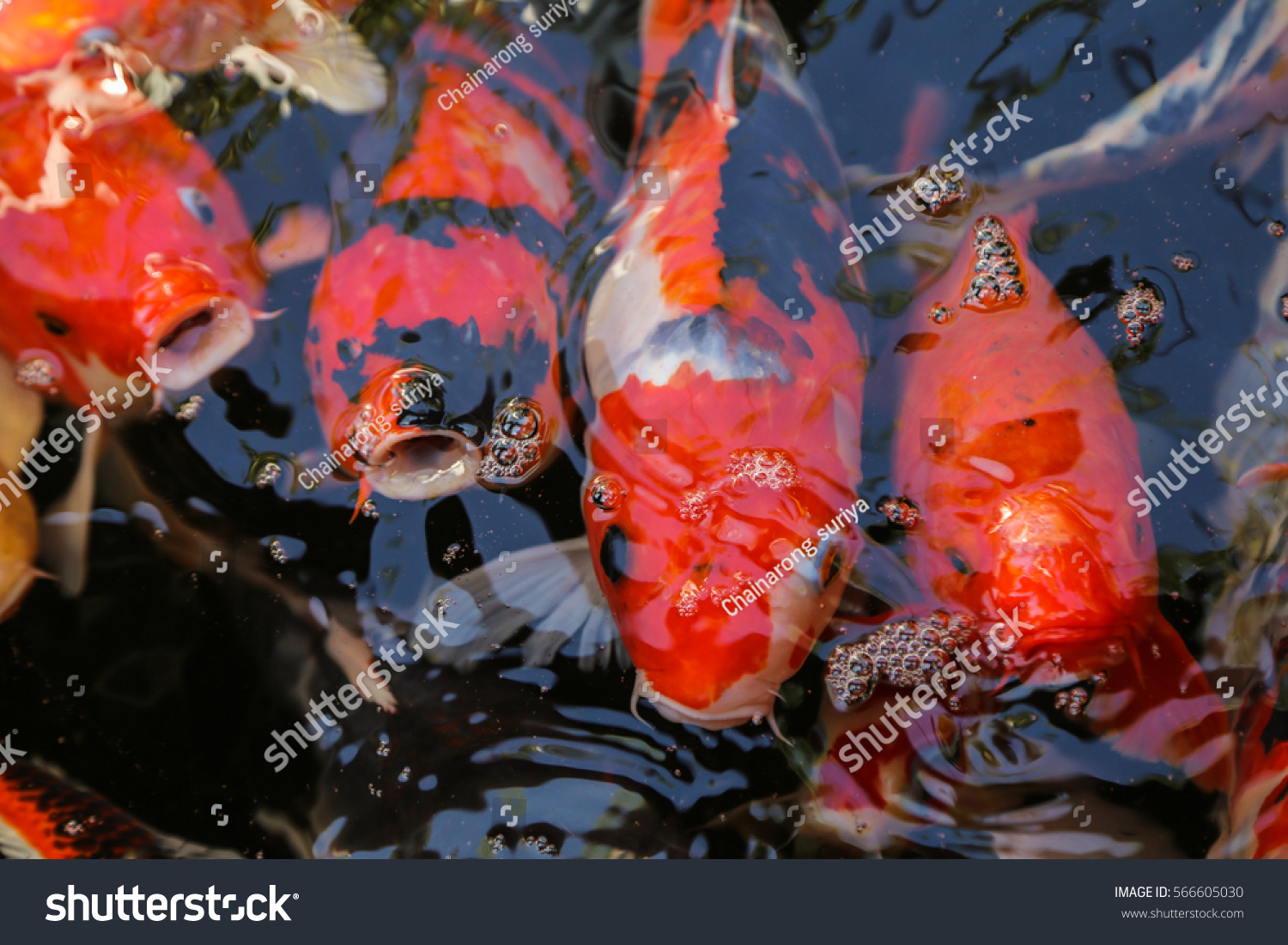 Koi fish water stock photo 566605030 shutterstock for Koi fish in water