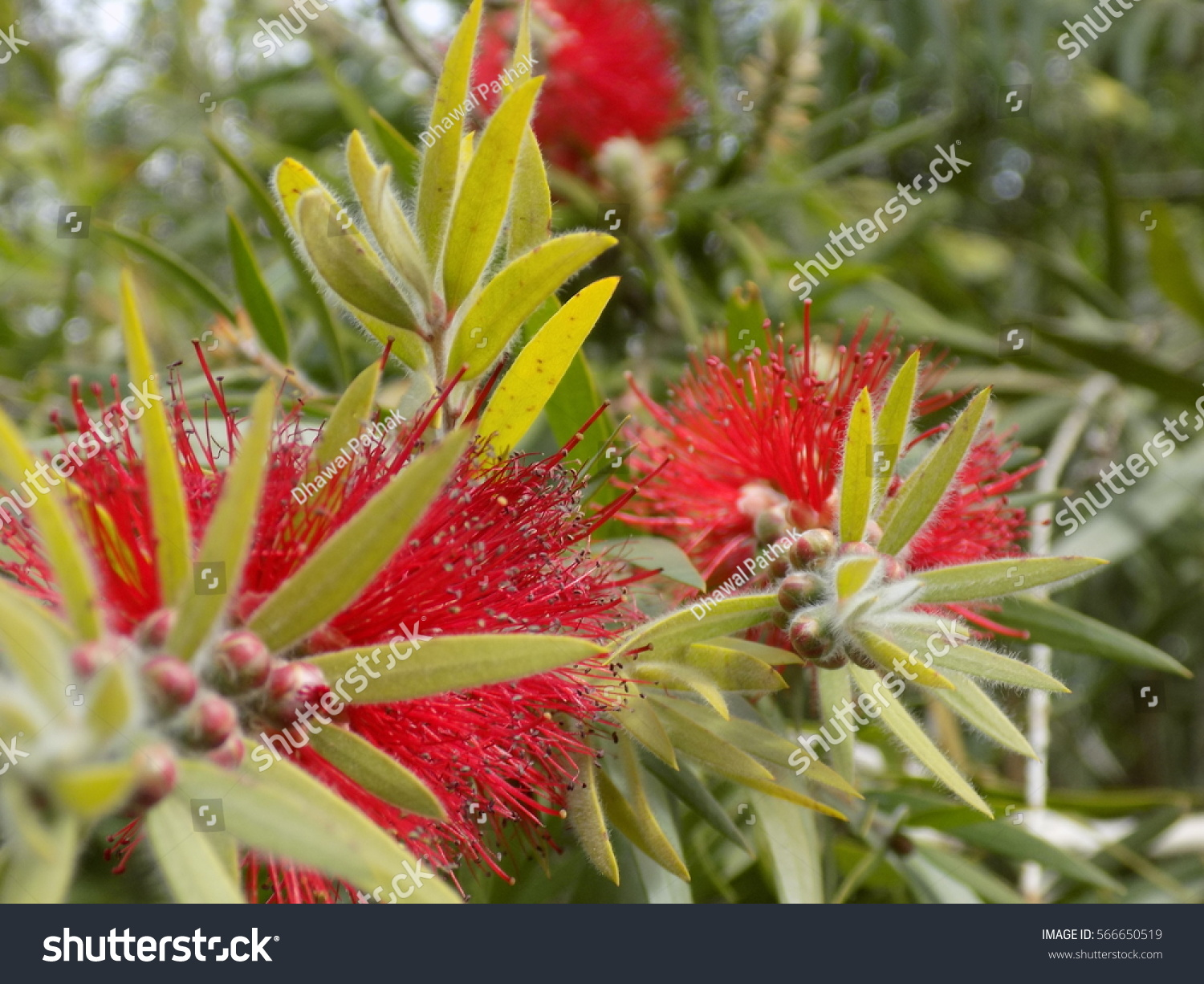 Red Color Flower Looks Beautiful Love Stock Photo (Royalty Free ...