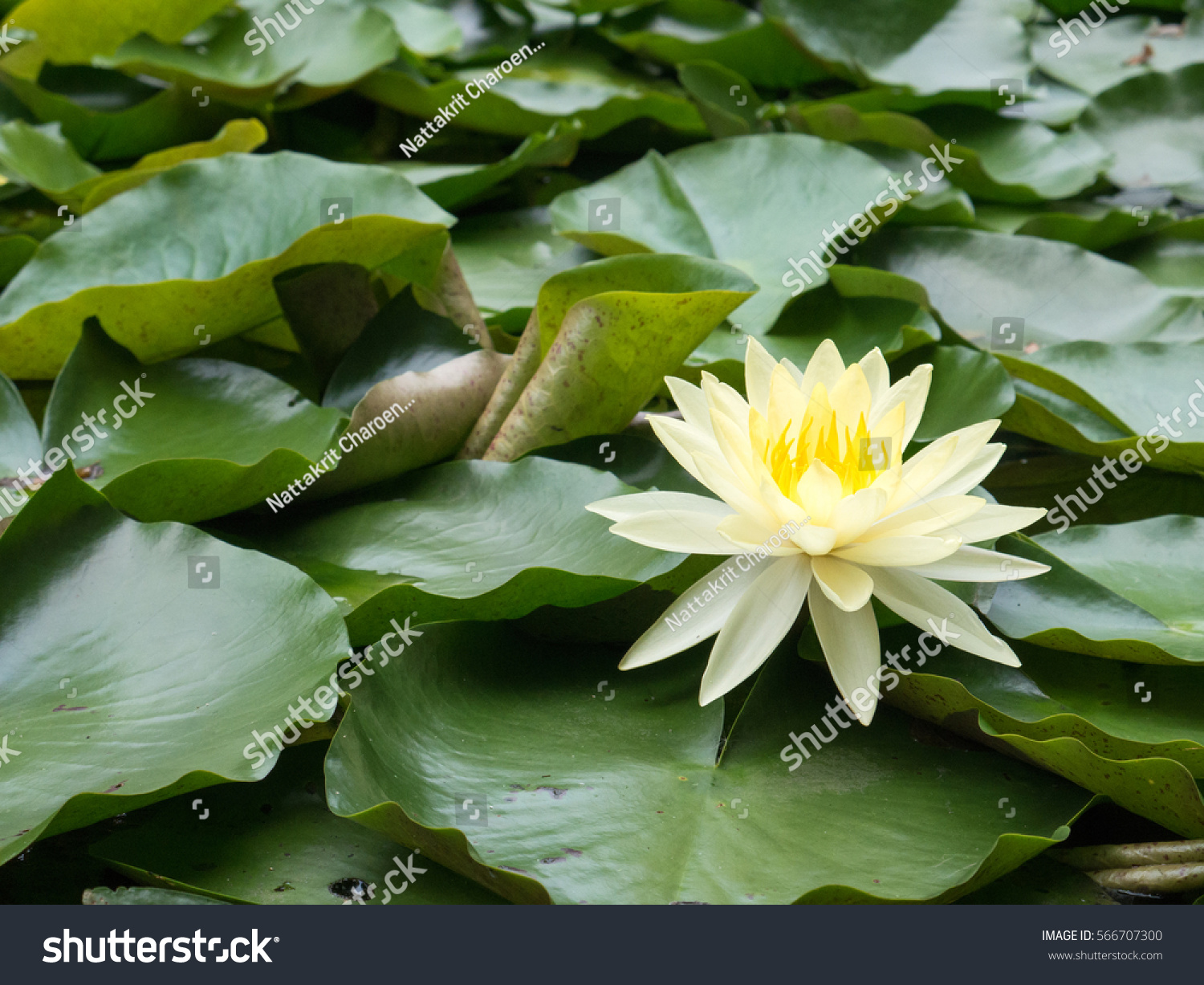 Yellow Lotus Flower Swamp Stock Photo Safe To Use 566707300