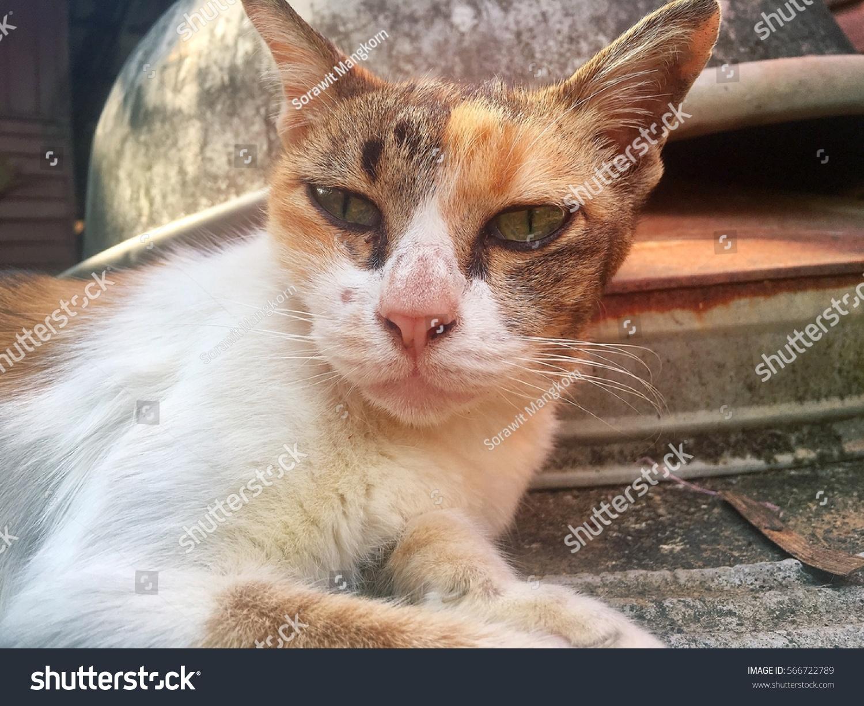 Cute Cat Face Stock Shutterstock