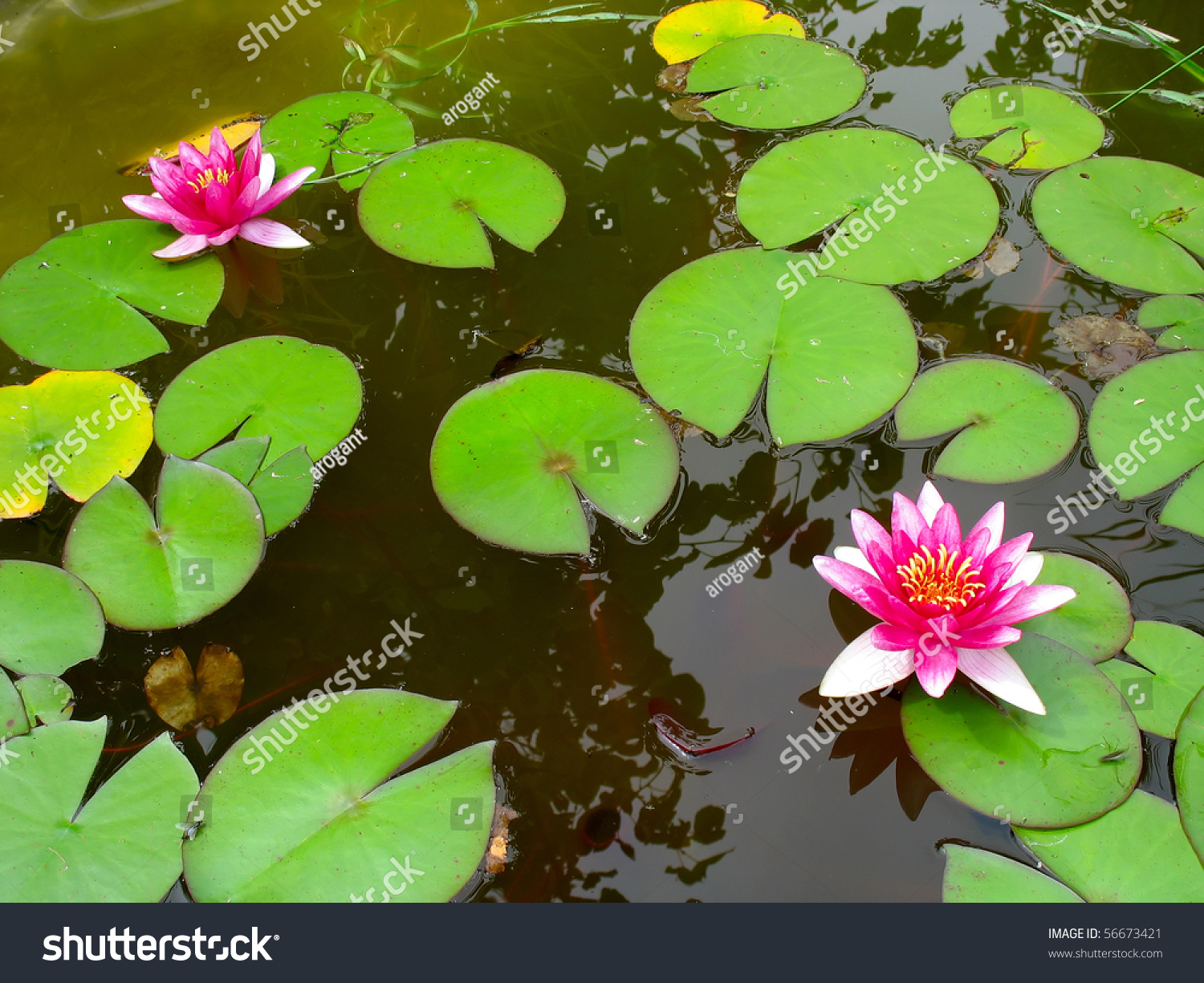 Red water lily lotus flower green stock photo royalty free red water lily lotus flower and green leaves growing in a pond izmirmasajfo Gallery