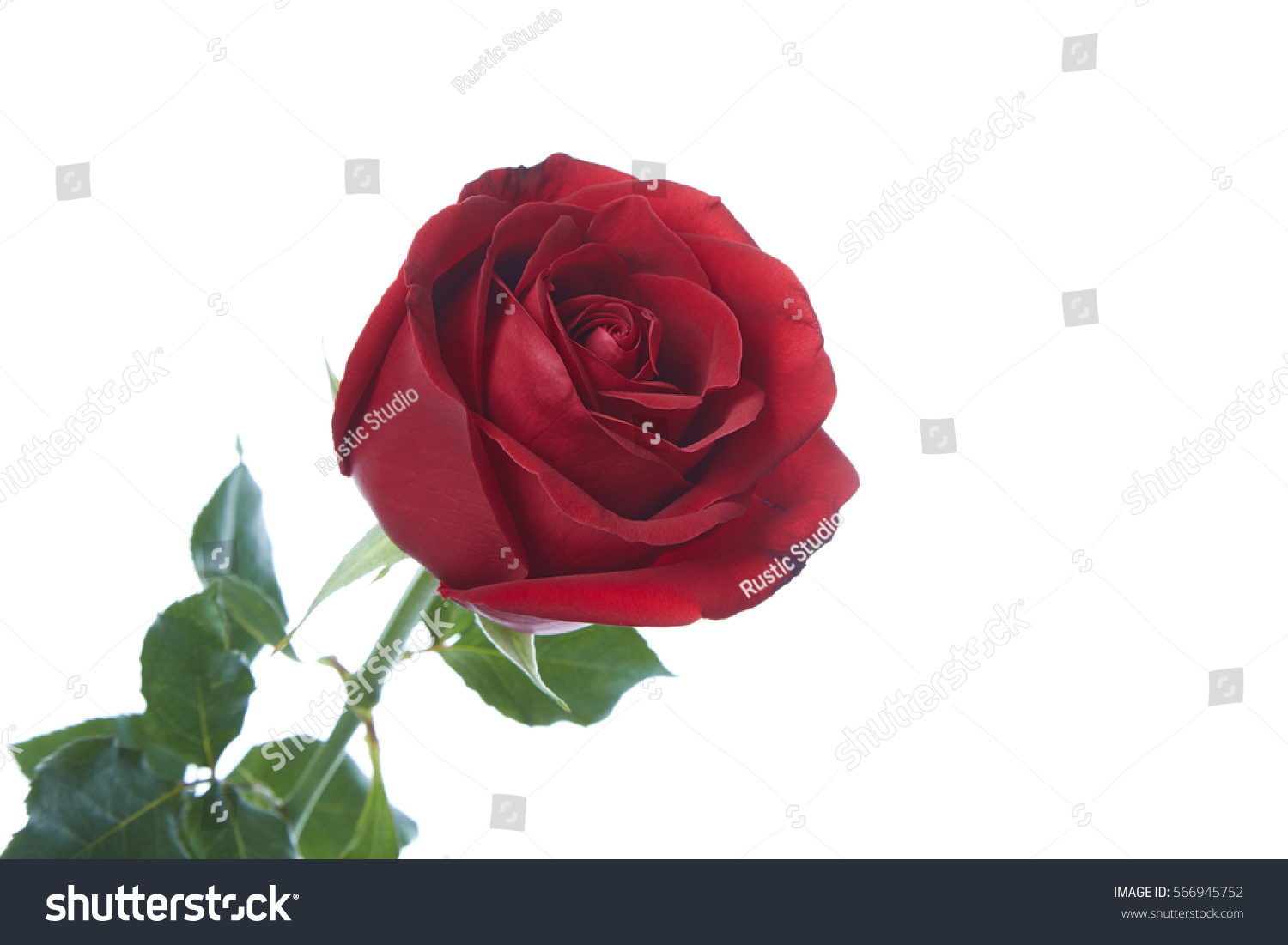 Single Red Rose Flower Isolated On Stock Photo 566945752