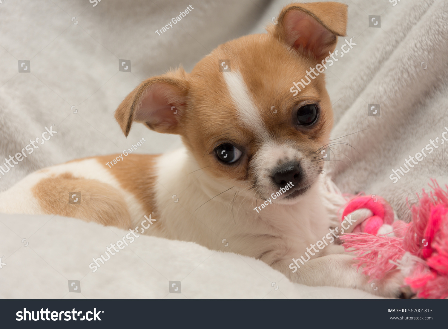 Cute Ten Week Old Chihuahua Puppy Stock Photo Edit Now 567001813
