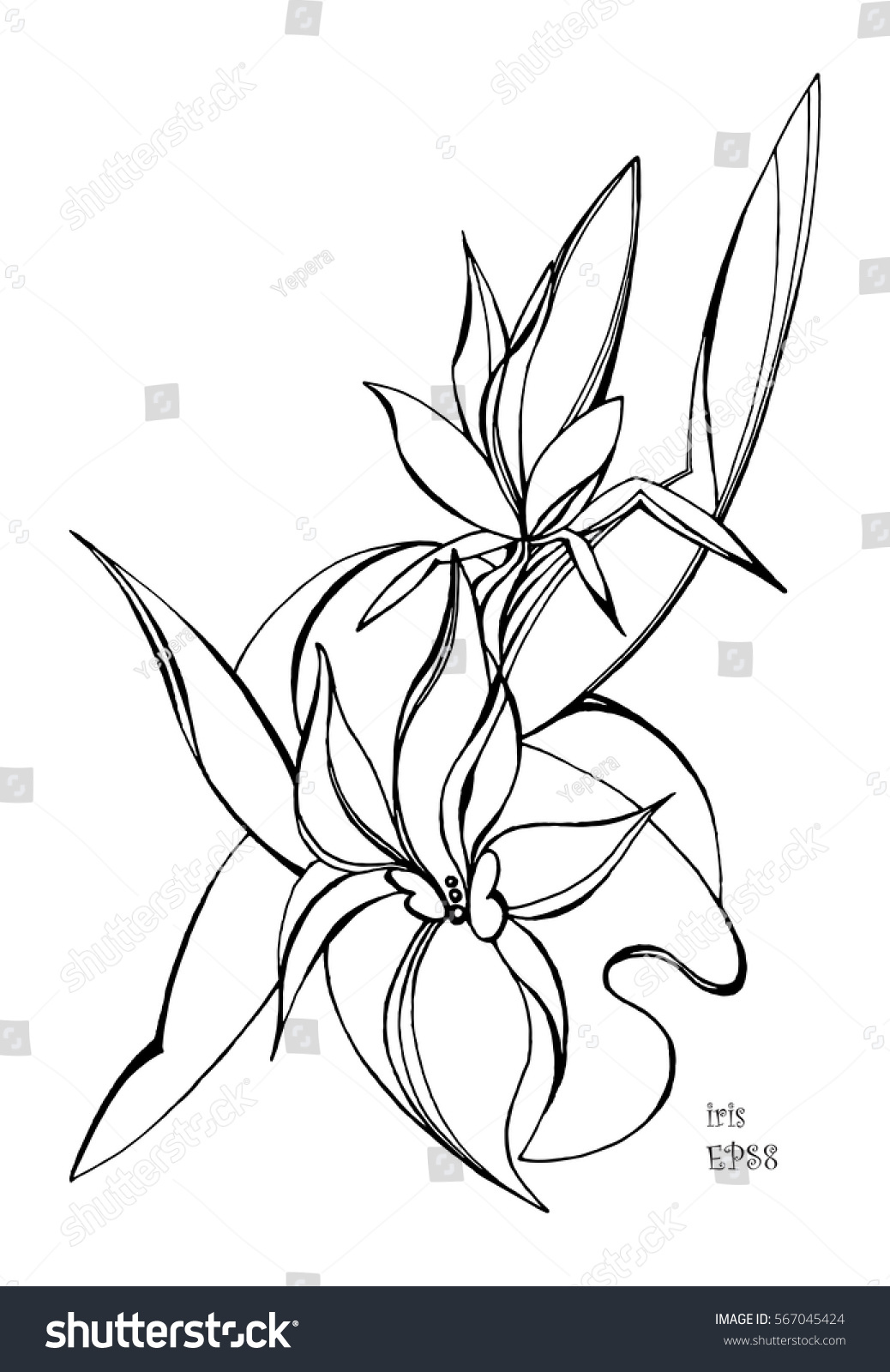 Royalty Free Iris Flowers Hand Drawn Vector 567045424 Stock Photo