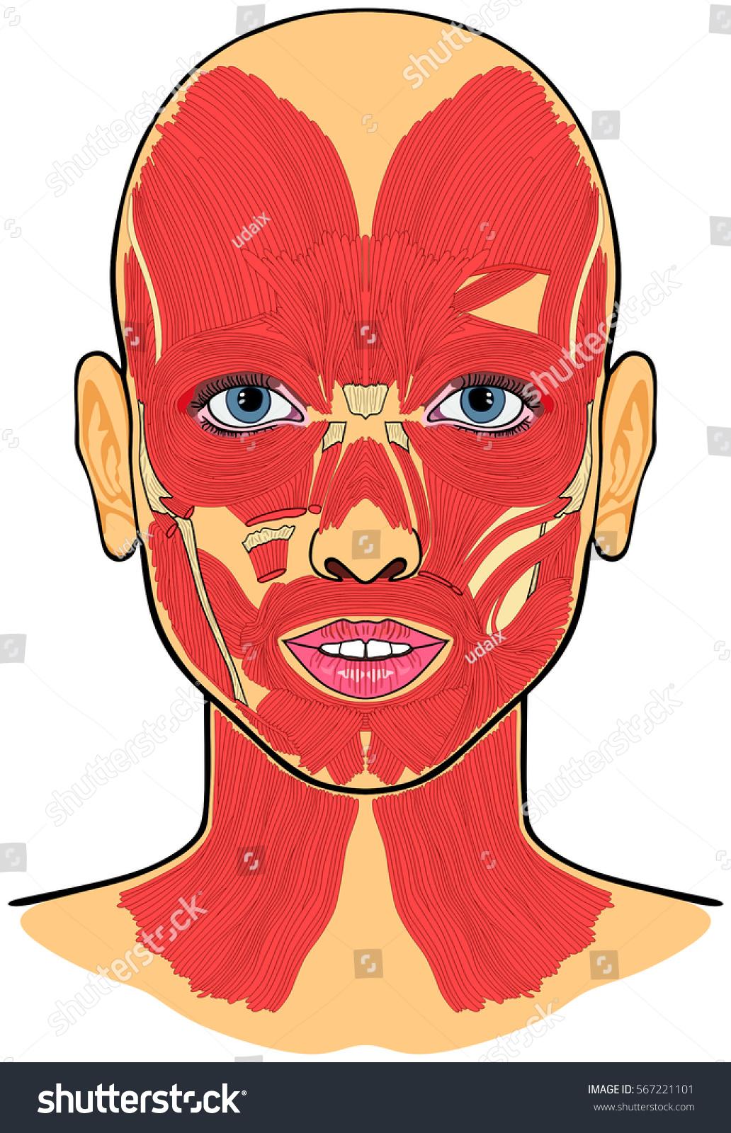Human Face Muscles Anatomy Vector Stock Vector 567221101 - Shutterstock