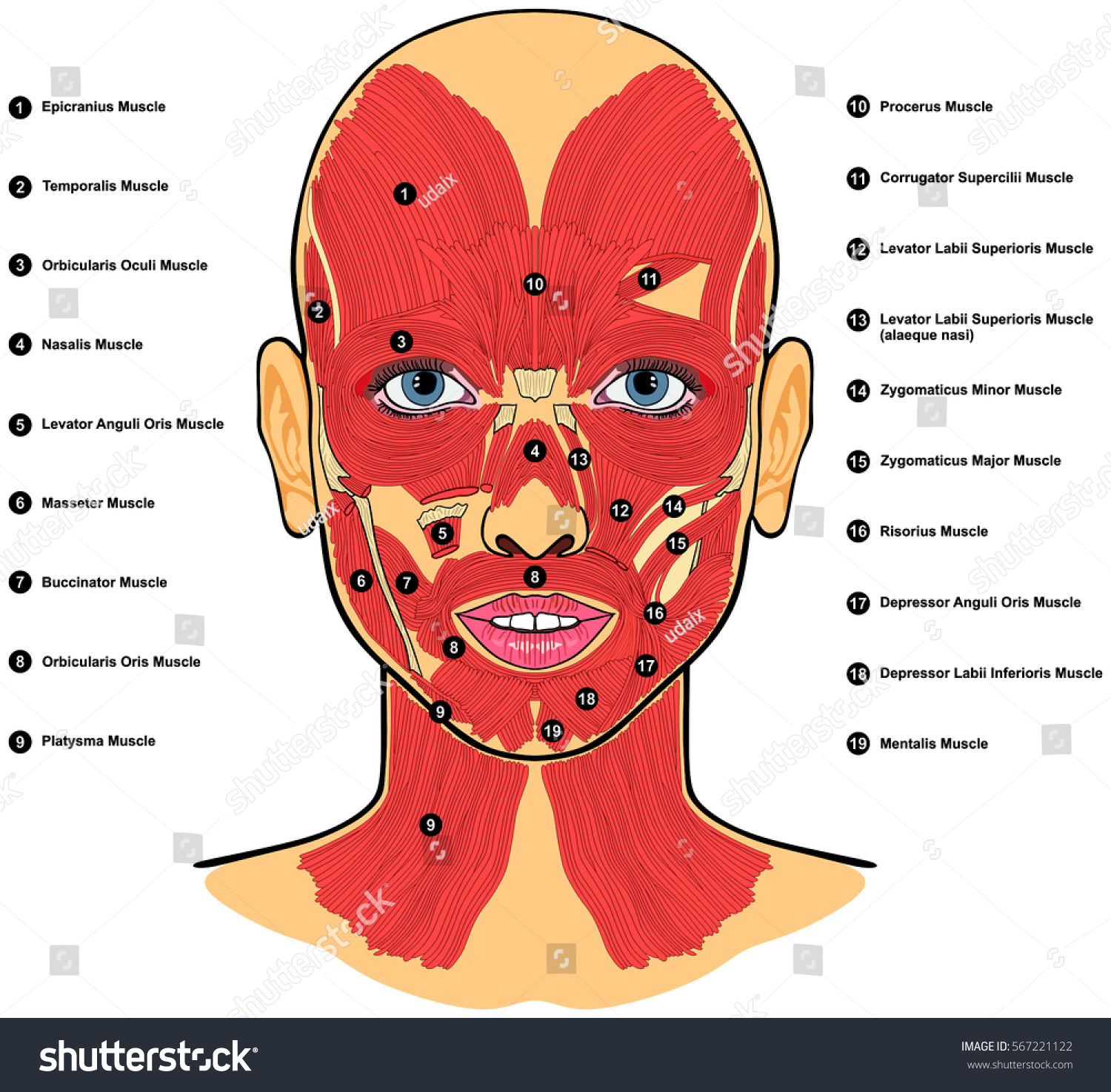 Human Face Muscles Anatomy Labeled Names Stock Vektorgrafik