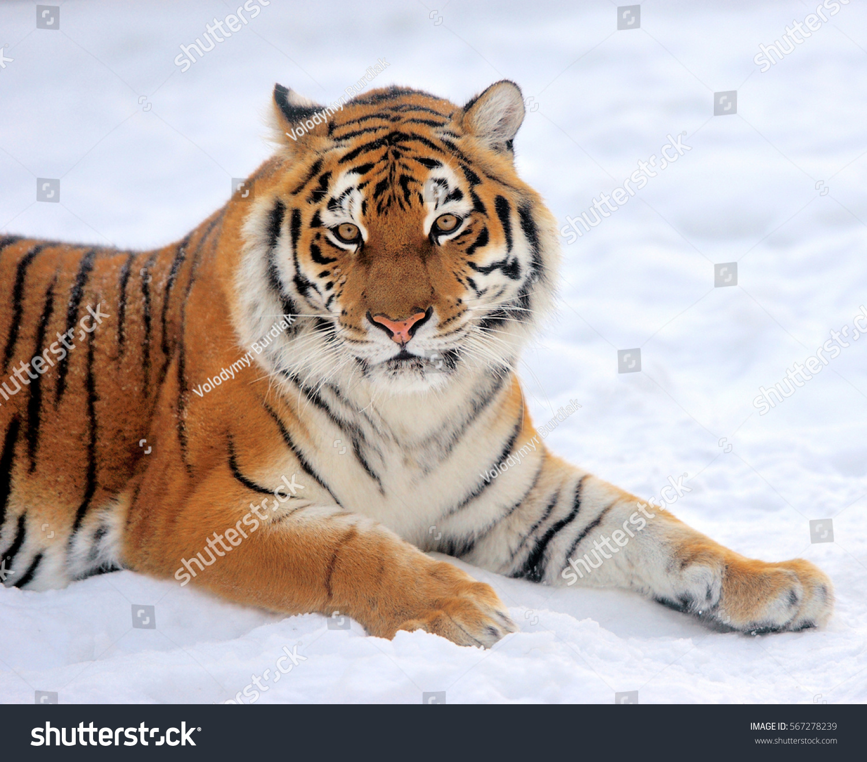 tiger wild snow - photo #40