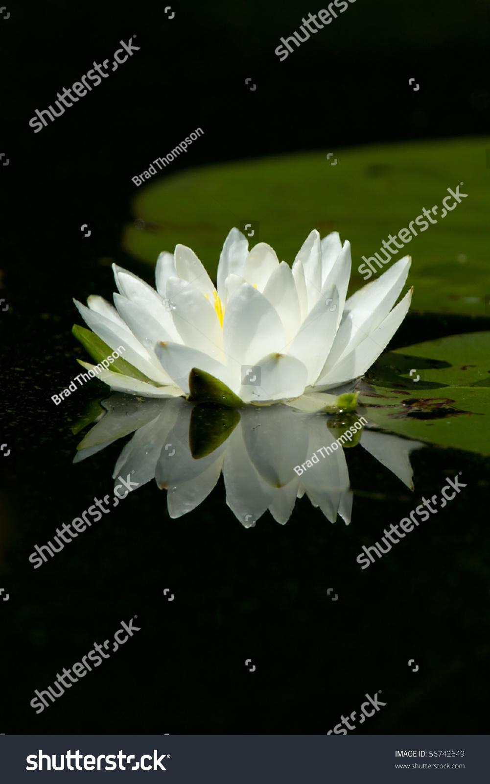 Wild white lily pad flower flowers stock photo edit now 56742649 wild white lily pad flower with flowers reflection in calm water lily pads are in izmirmasajfo