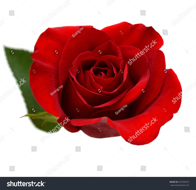 red rose day stock photo 567599575 shutterstock. Black Bedroom Furniture Sets. Home Design Ideas