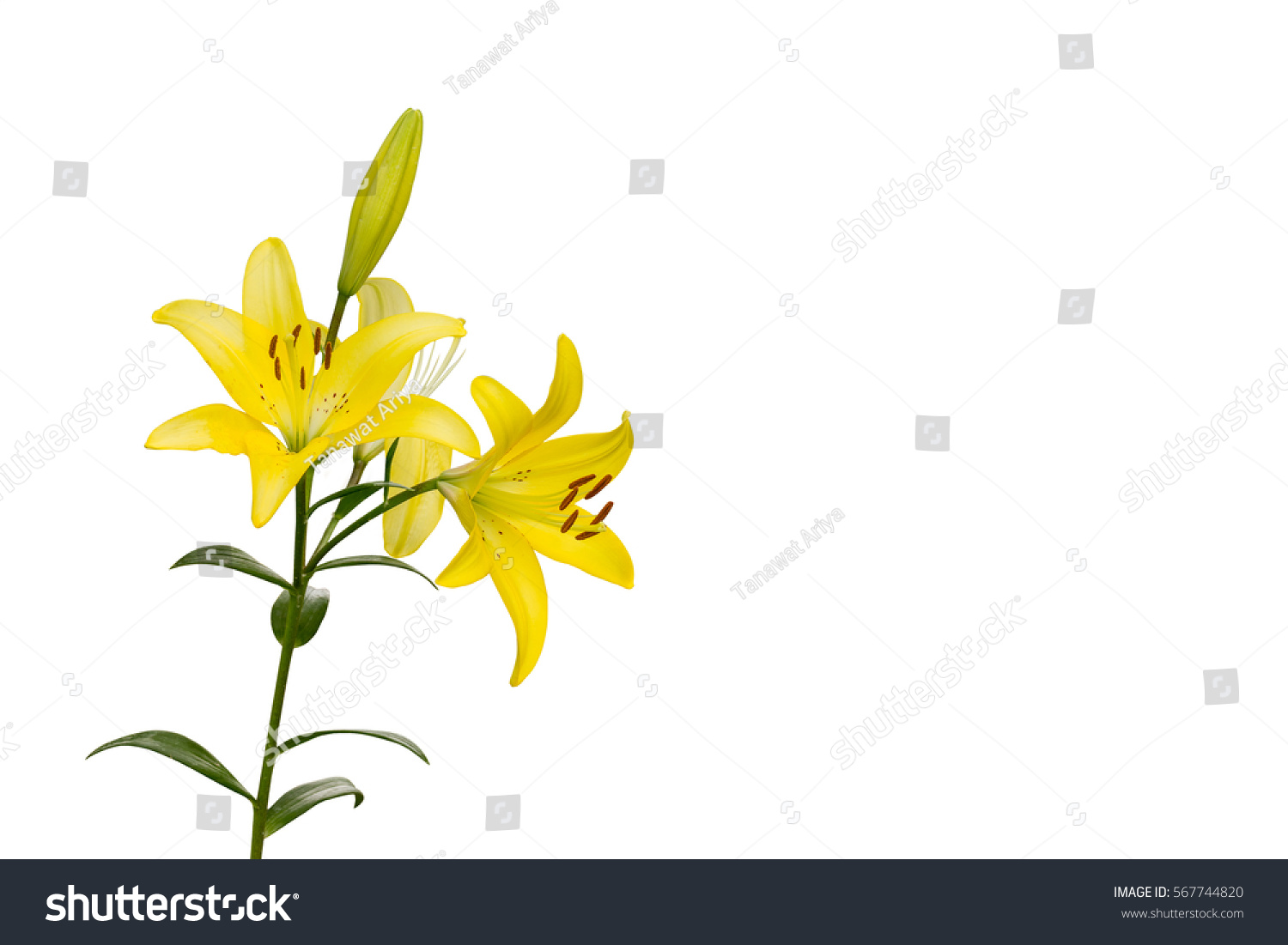 Selection Yellow Lilly Flower Tree Isolated Stock Photo Edit Now