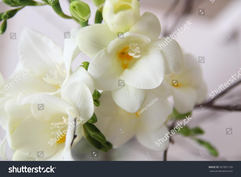 White Freesia Flowers Bouquet Stock Photo Royalty Free 567851128