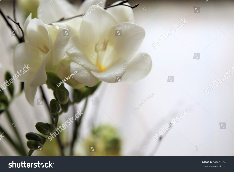 White Freesia Flowers Bouquet Ez Canvas