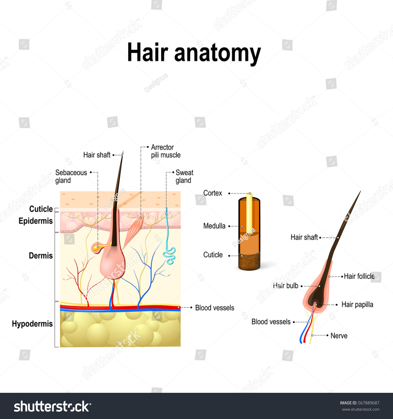 Human Hair Anatomy Diagram Hair Follicle Stock Illustration