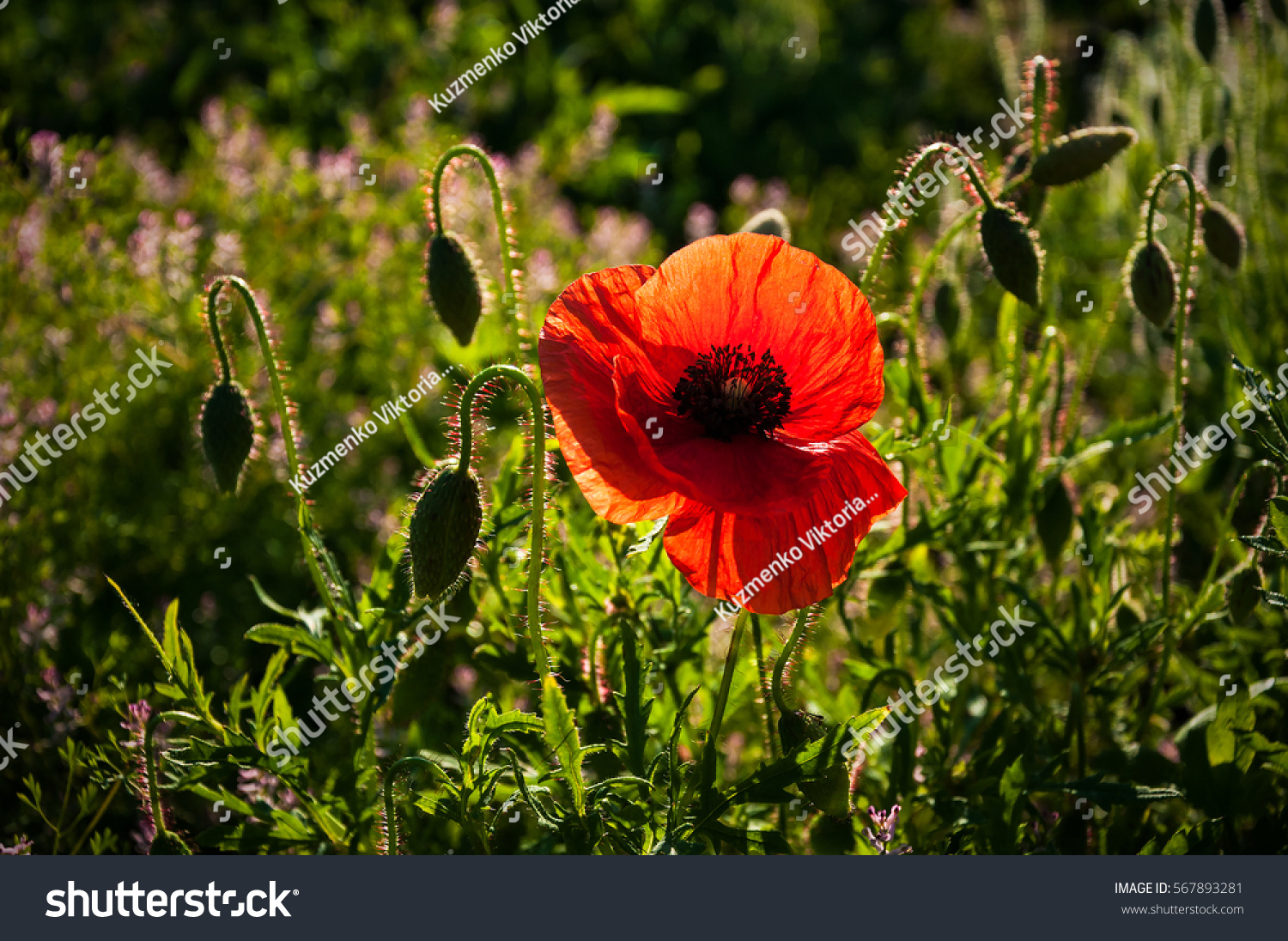 Similar Images Stock Photos Vectors Of Big Red Poppy Flower Buds