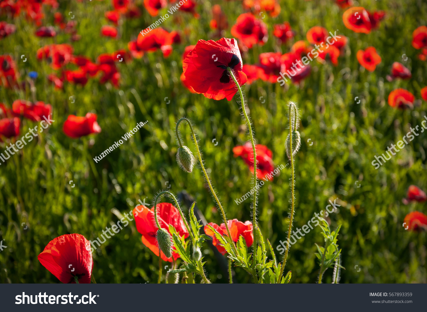 big red poppy flower buds meadow stock photo 567893359 shutterstock