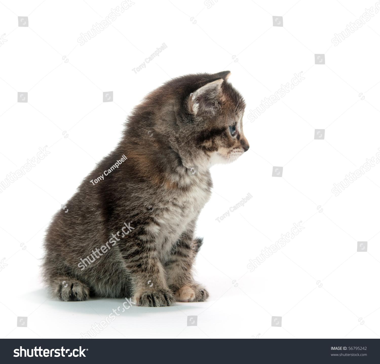 Cute Tabby Kitten White Background Stock