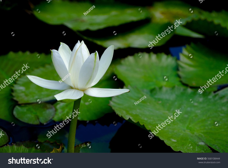 White Lotus Flower Pond Chiang Mai Stock Photo Royalty Free