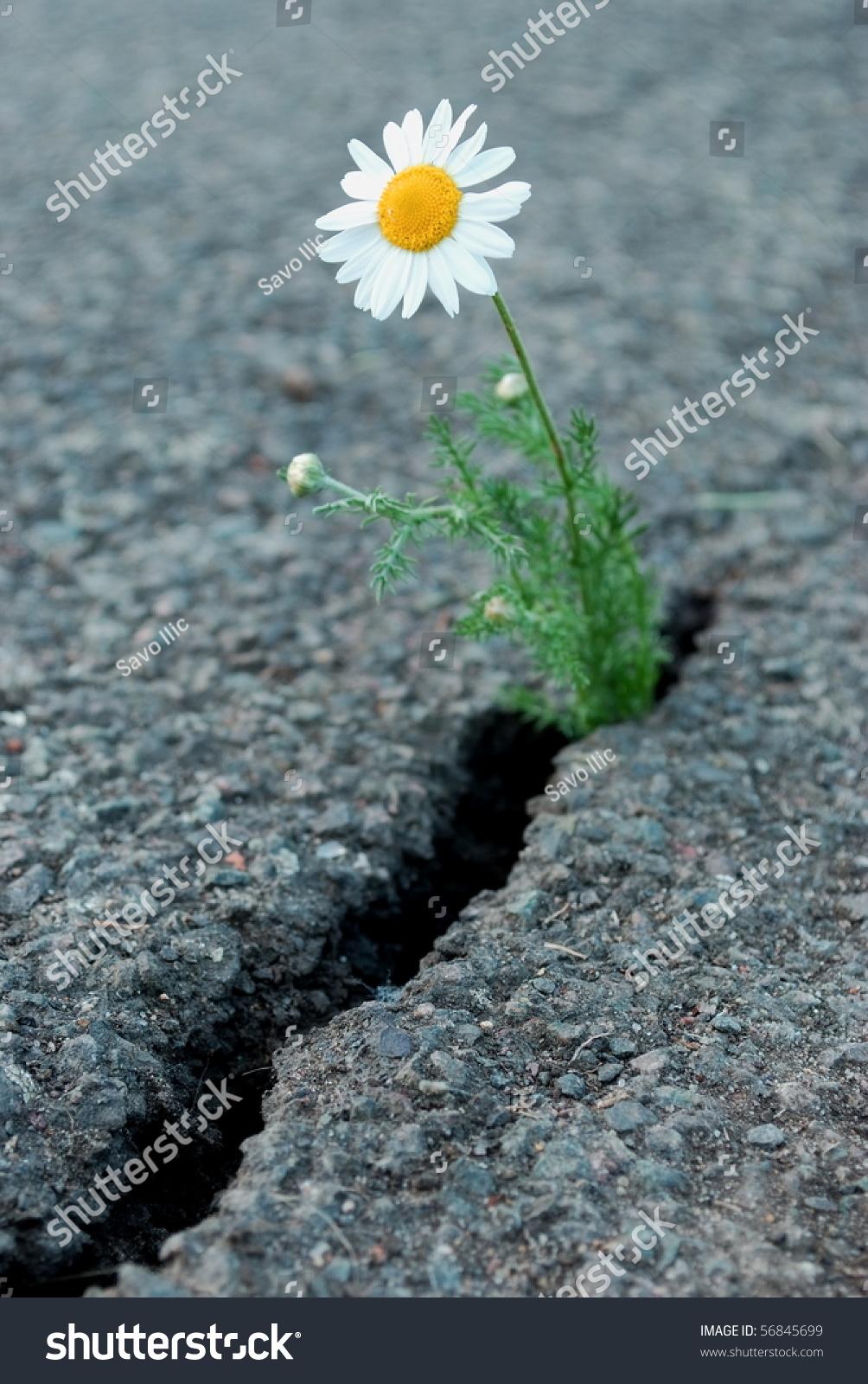 Daisy Flower Growing Cracked Asphalt Stock Photo Edit Now 56845699
