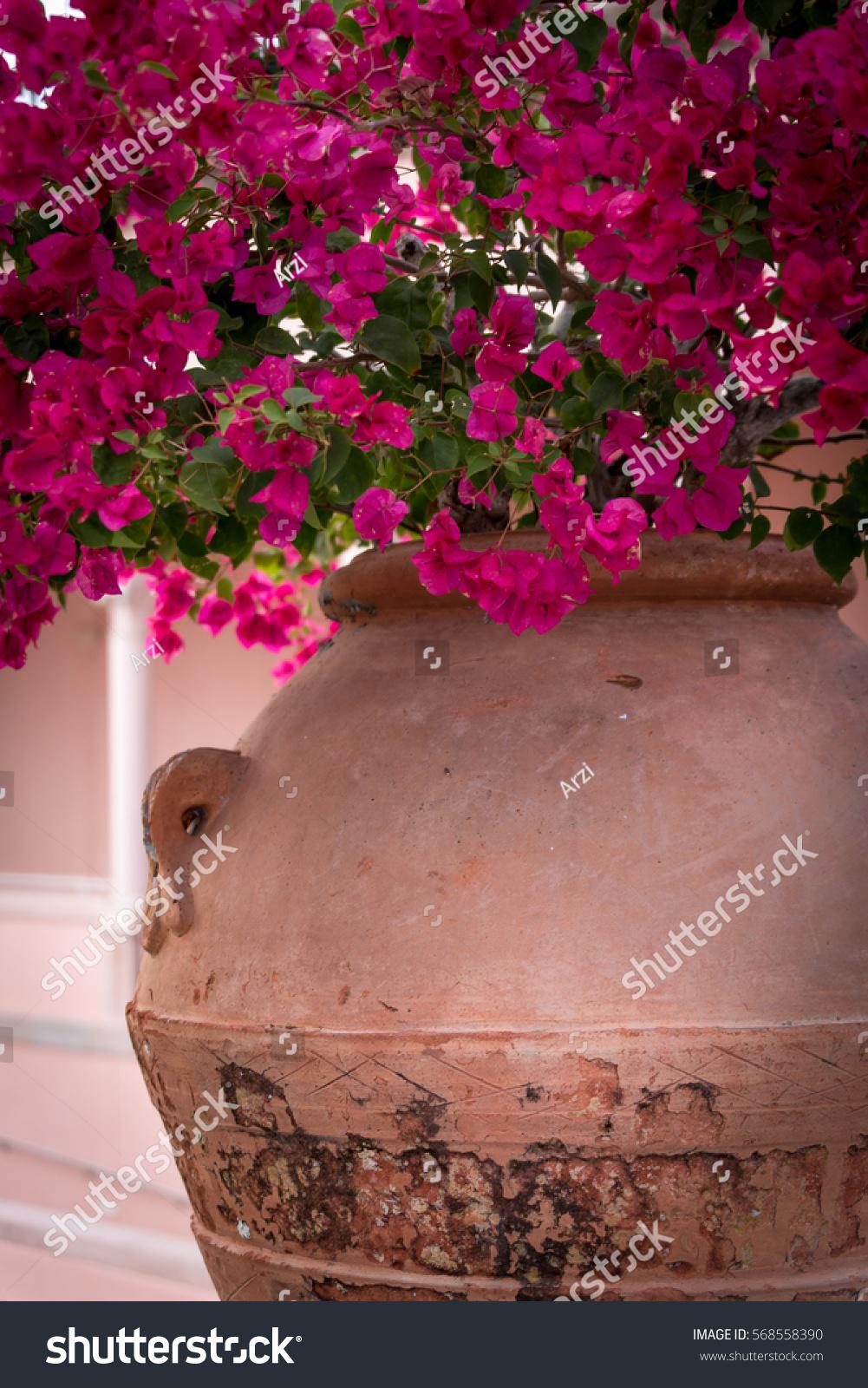 Fuchsia Color Bougainvillea Flowers Big Old Stock Photo (100% Legal ...