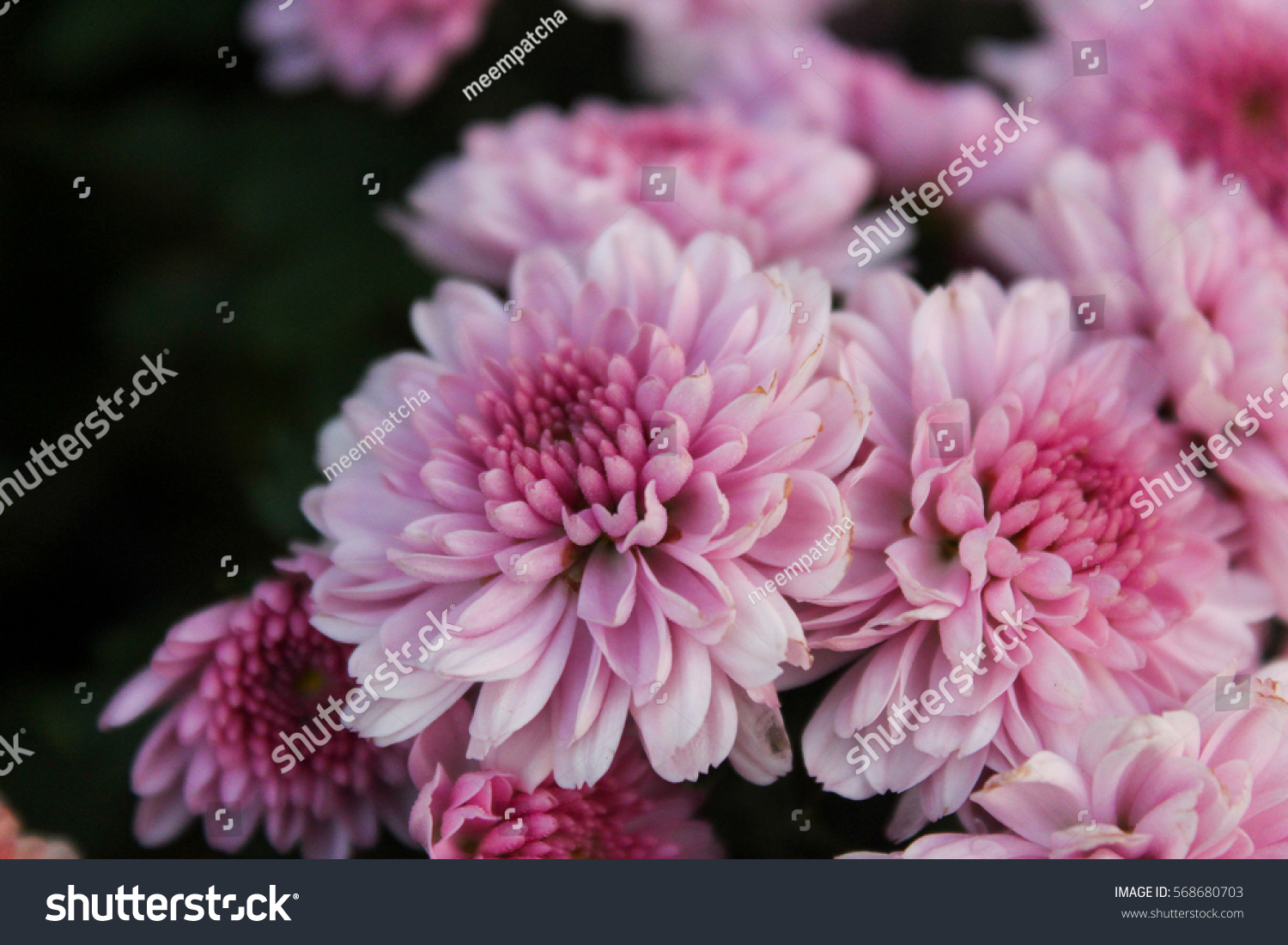 These Pink White Flowers Called Chrysanthemum Stock Photo Edit Now