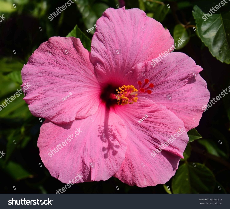 Close Pink Hibiscus Flower Kauai Hawaii Stock Photo Edit Now