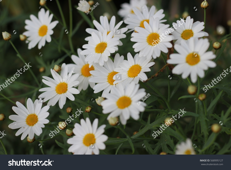 White cosmos flowers ez canvas id 568995127 mightylinksfo