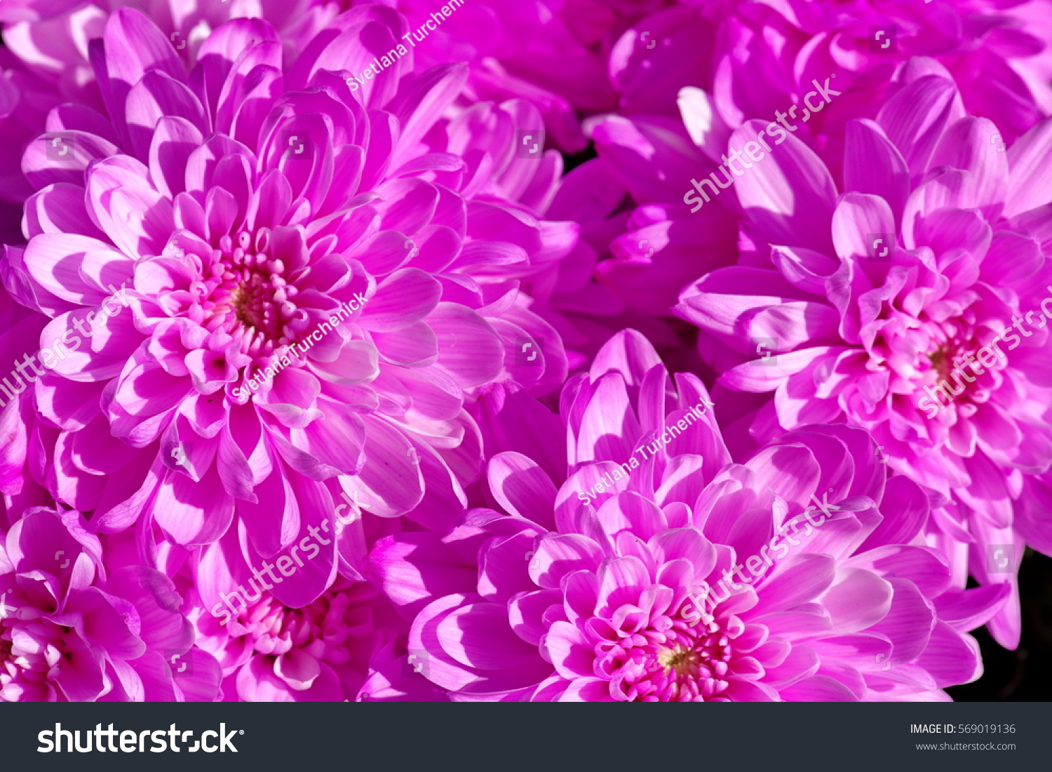 Chrysanthemum Pink Bunch Of Flowers Ez Canvas