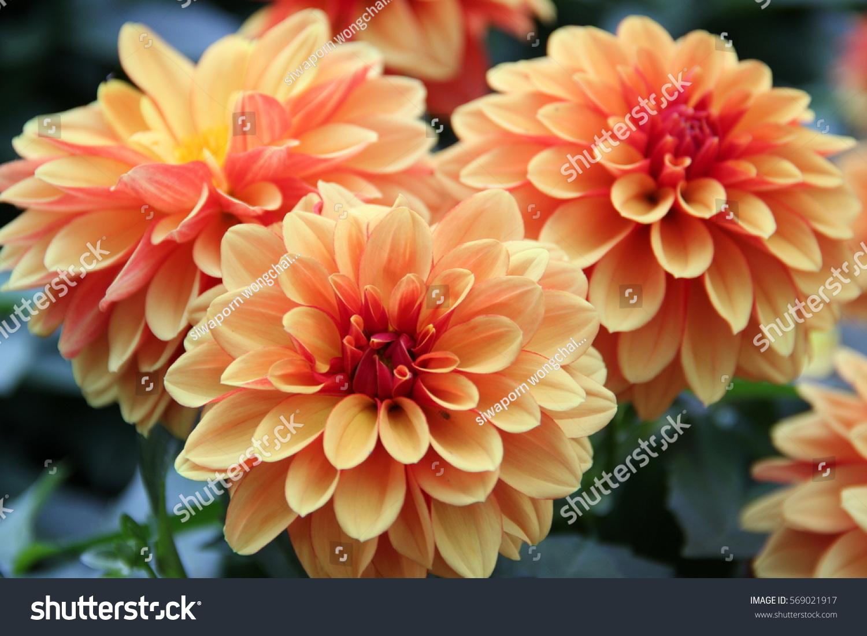 Dahlia Flower Colorful Orange Stock Photo Edit Now 569021917