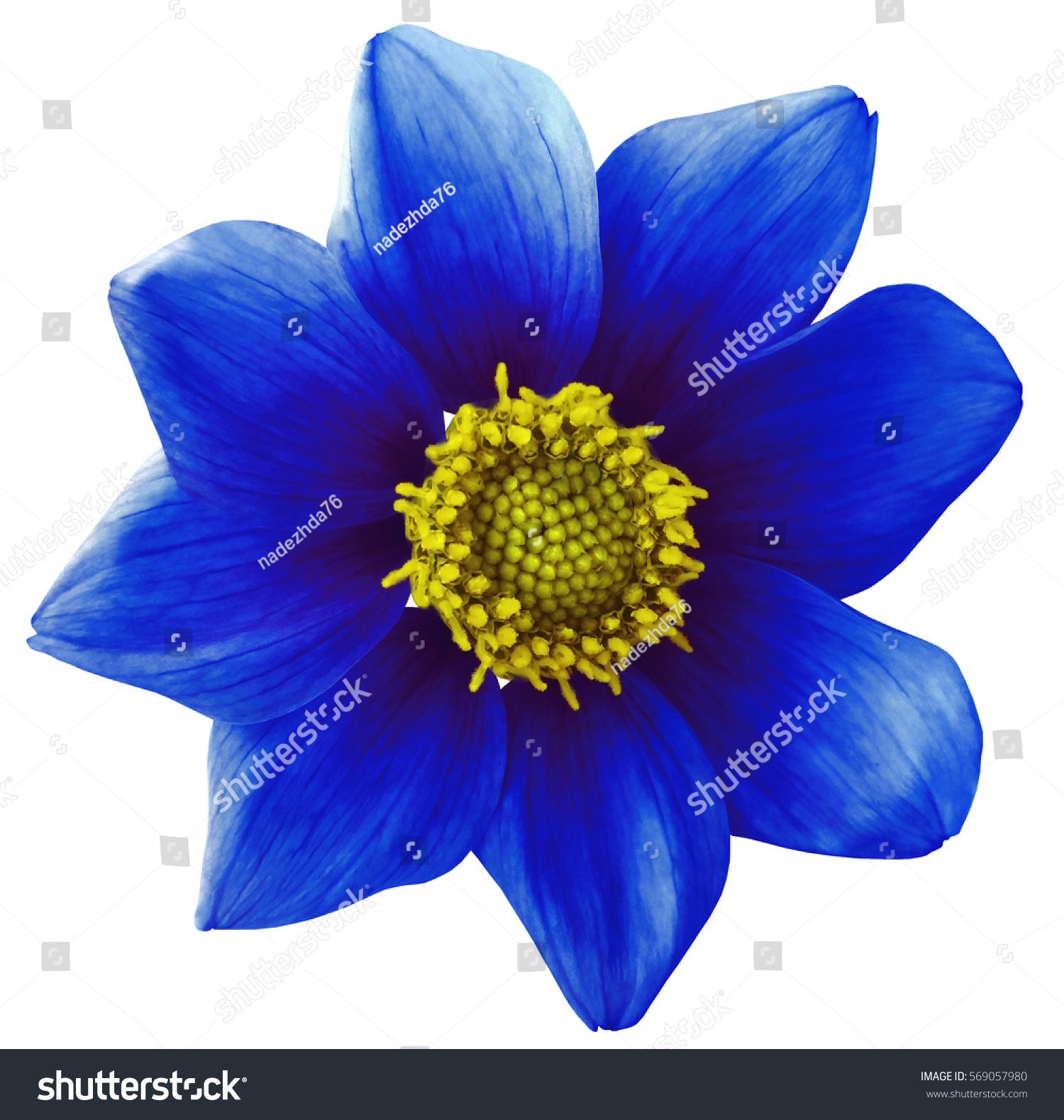 Dahlia Flower Blue White Isolated Background Stock Photo Edit Now