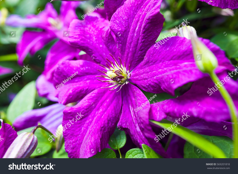 Purple Flowers Bush Stock Photo Edit Now 569201818 Shutterstock