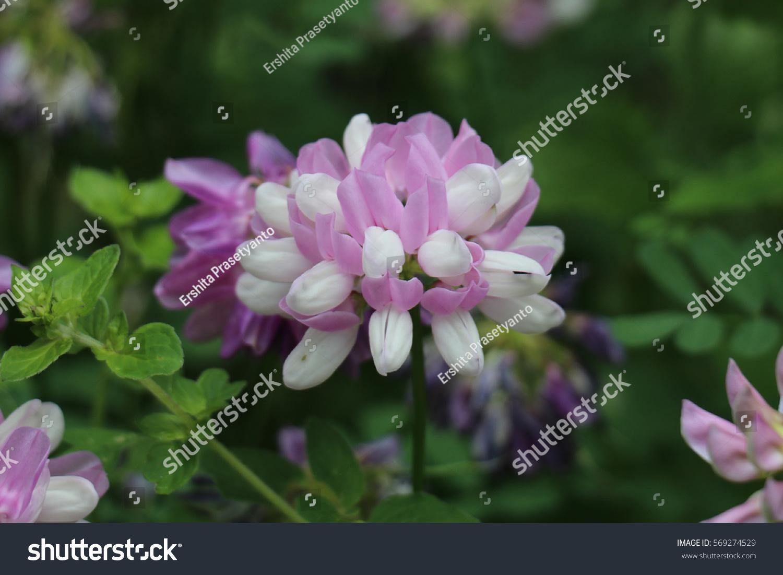 Crown vetch coronilla varia flowers garden stock photo edit now crown vetch coronilla varia flowers in the garden flower from fabaceae family izmirmasajfo