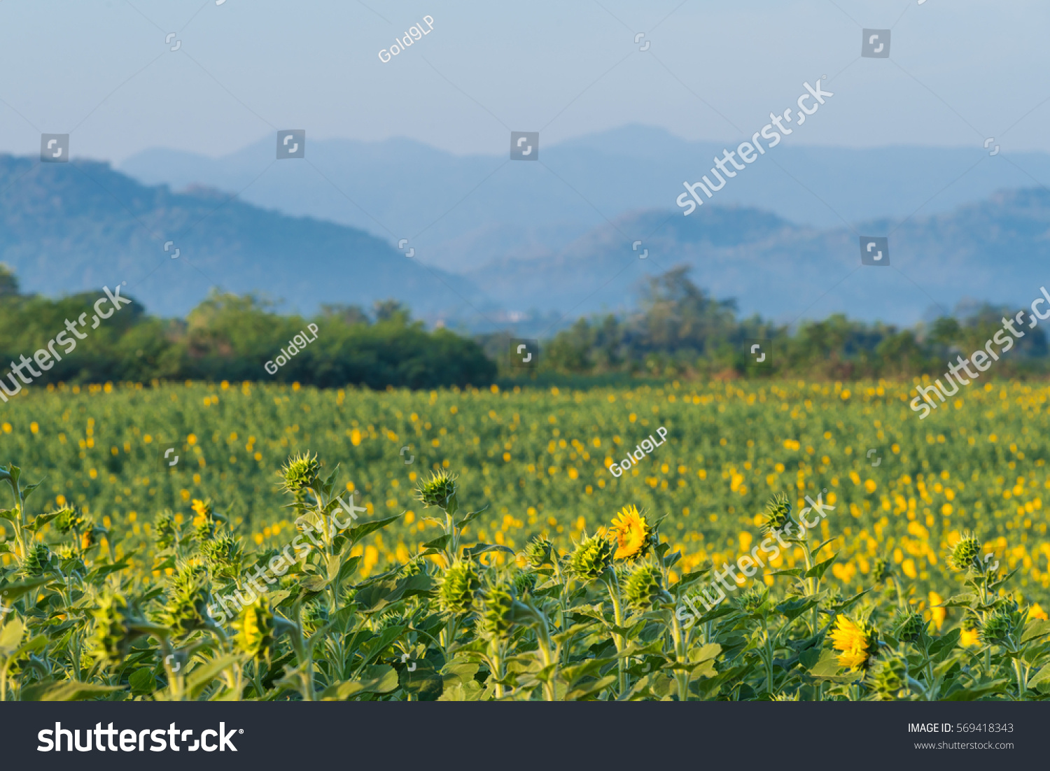 sunflower field picture blooming - photo #34