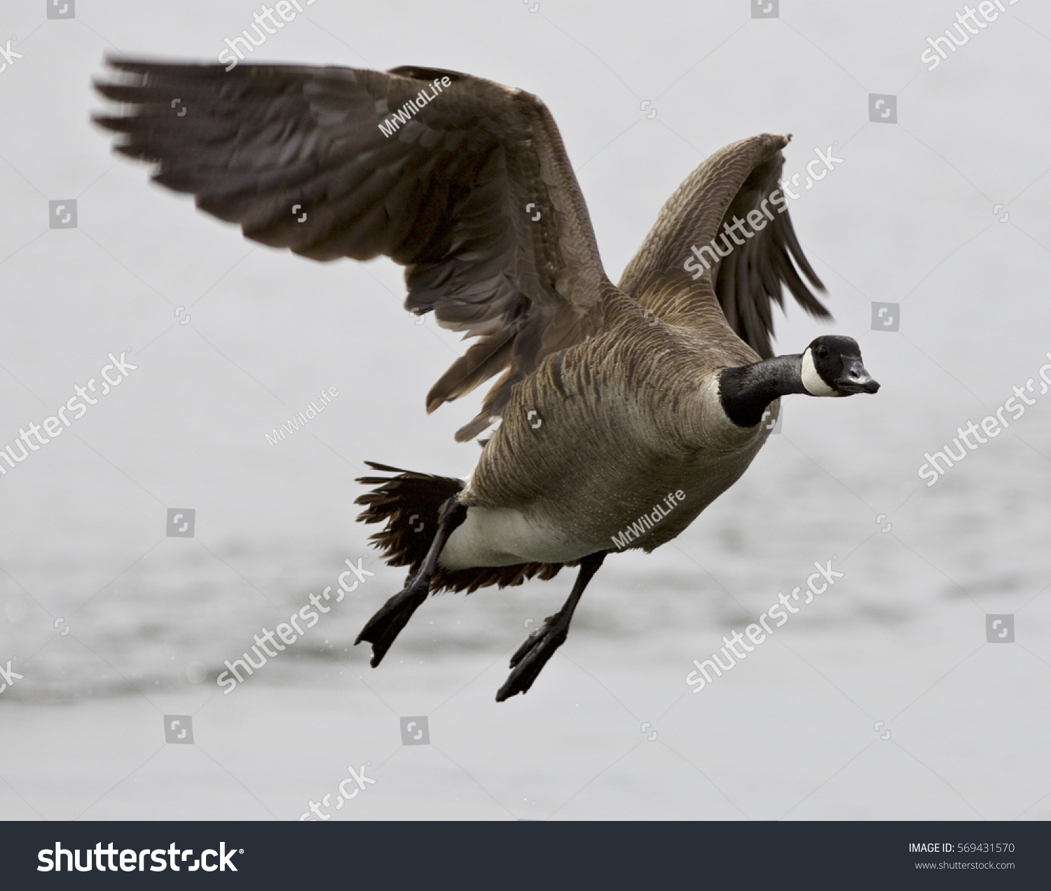 Beautiful isolated image flying canada goose stock photo 569431570 beautiful isolated image with a flying canada goose biocorpaavc Gallery