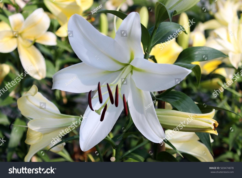 white beautiful mature lily on green stock photo 569474878