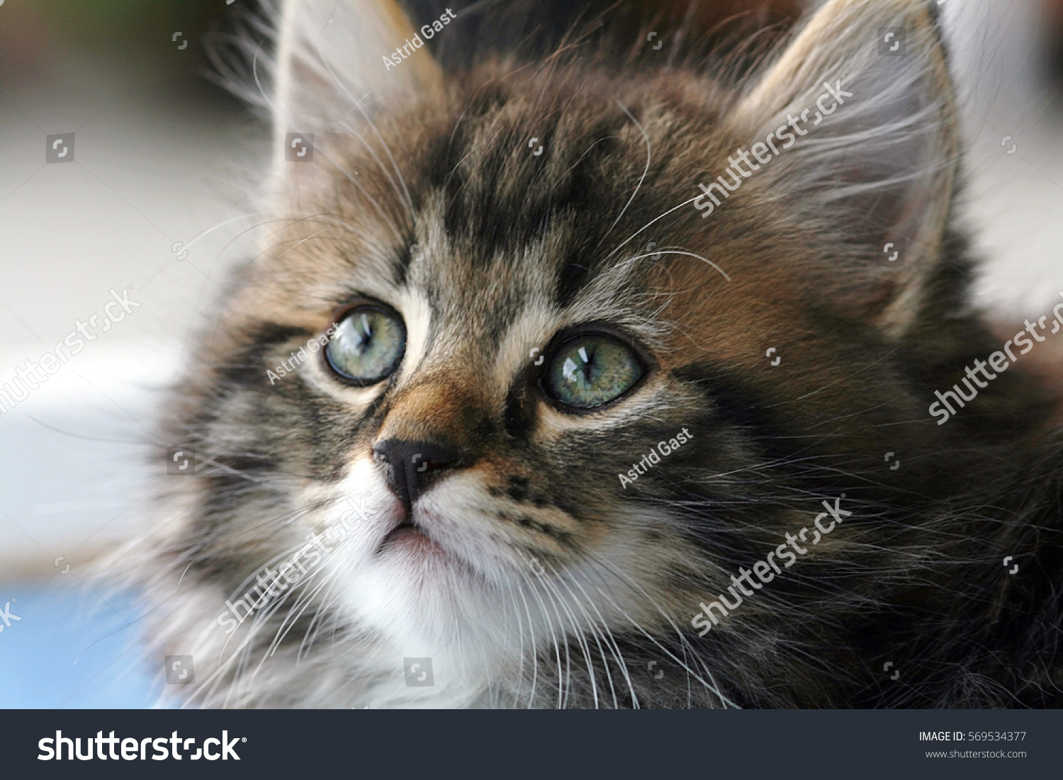 Cute Brownblack Little Baby Cat Baby Stock