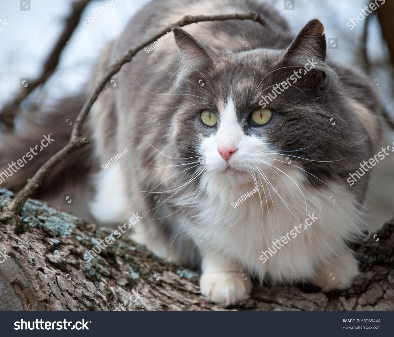 Grey calico cat