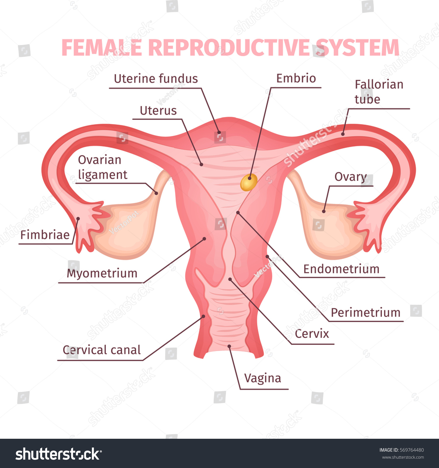 Female Reproductive System Scientific Template Cartoon Stock Vector ...