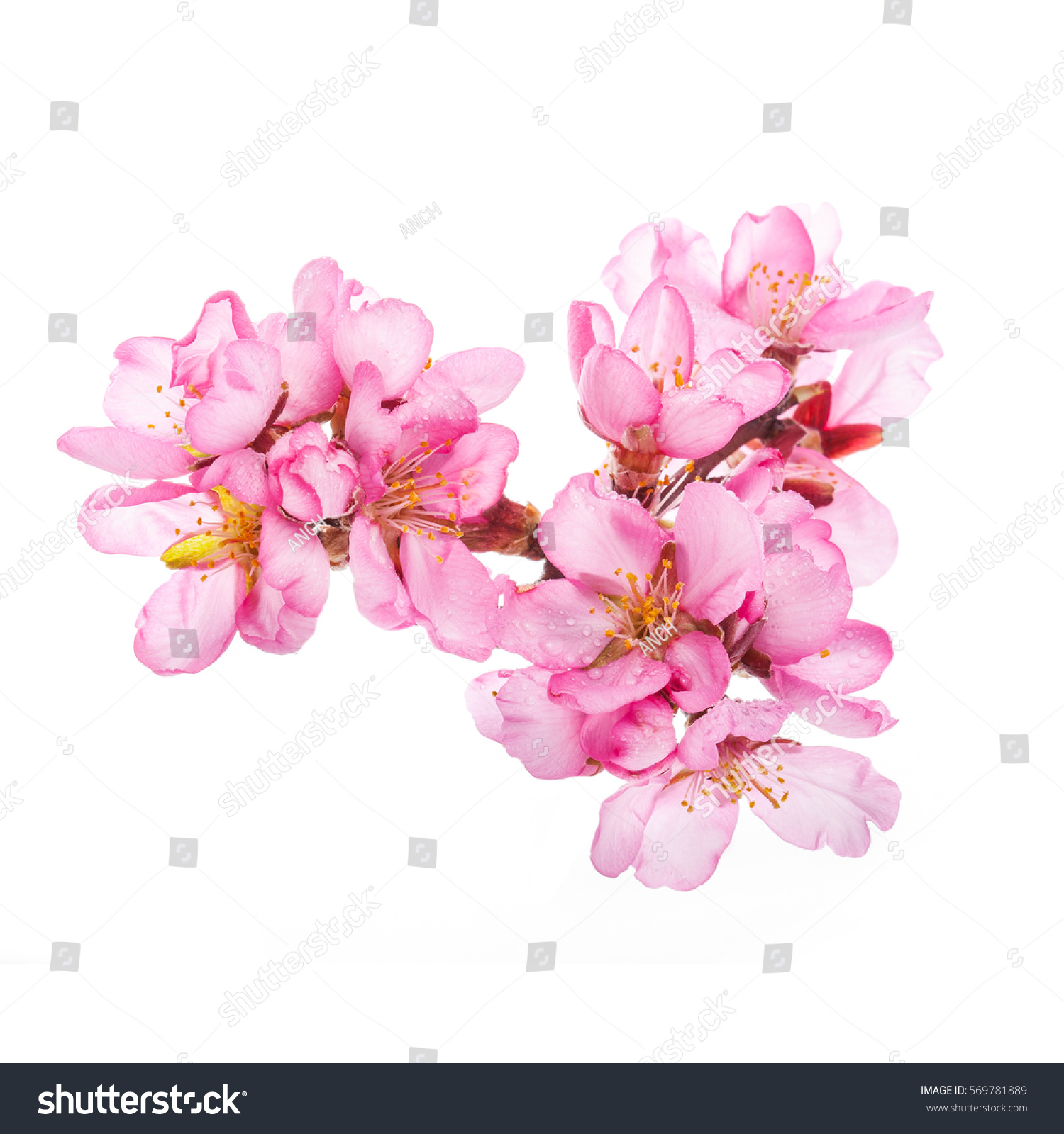 Spring Flowering Branches Pink Flowers No Stock Photo Edit Now