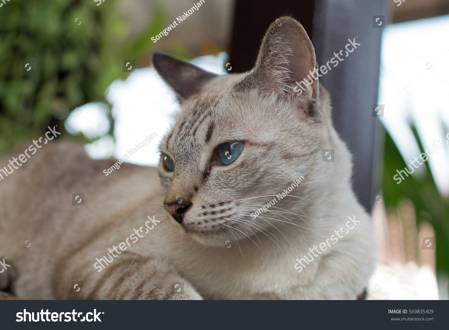 Grey Cat Blue Eyes Garden Stock Shutterstock