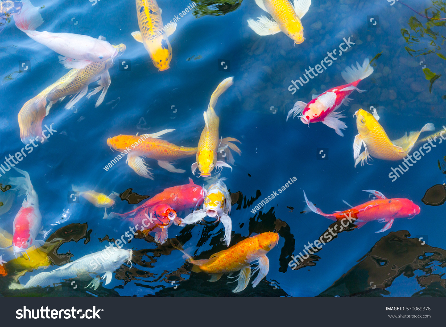 Koi fish pond lagerfoto 570069376 shutterstock for The koi pool fishing tackle