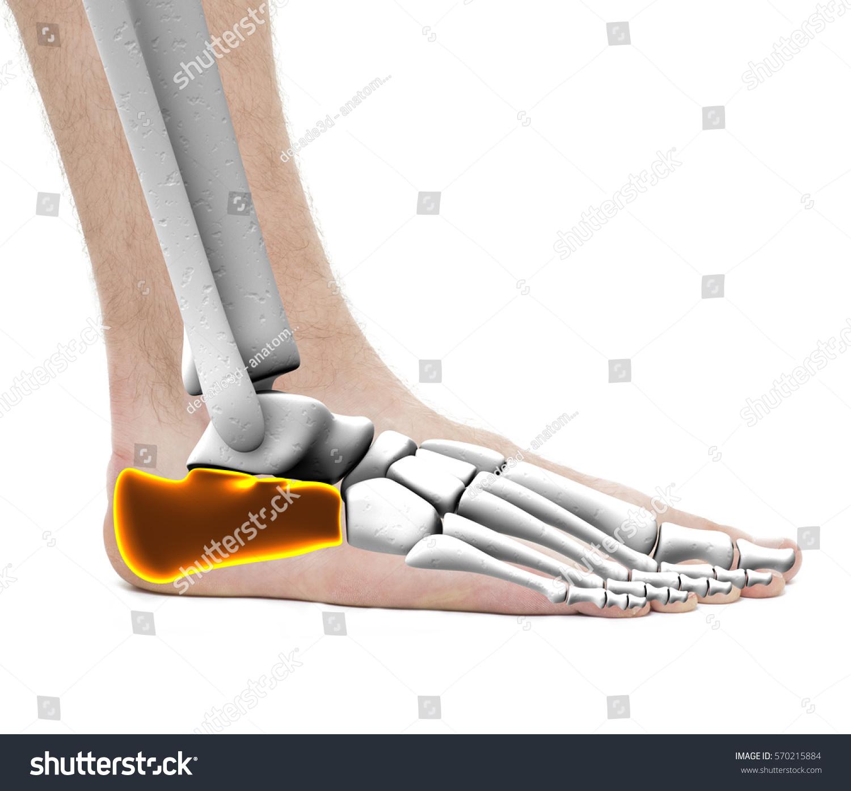 Calcaneus Heel Bone Anatomy Male Studio Stock Photo (Edit Now ...