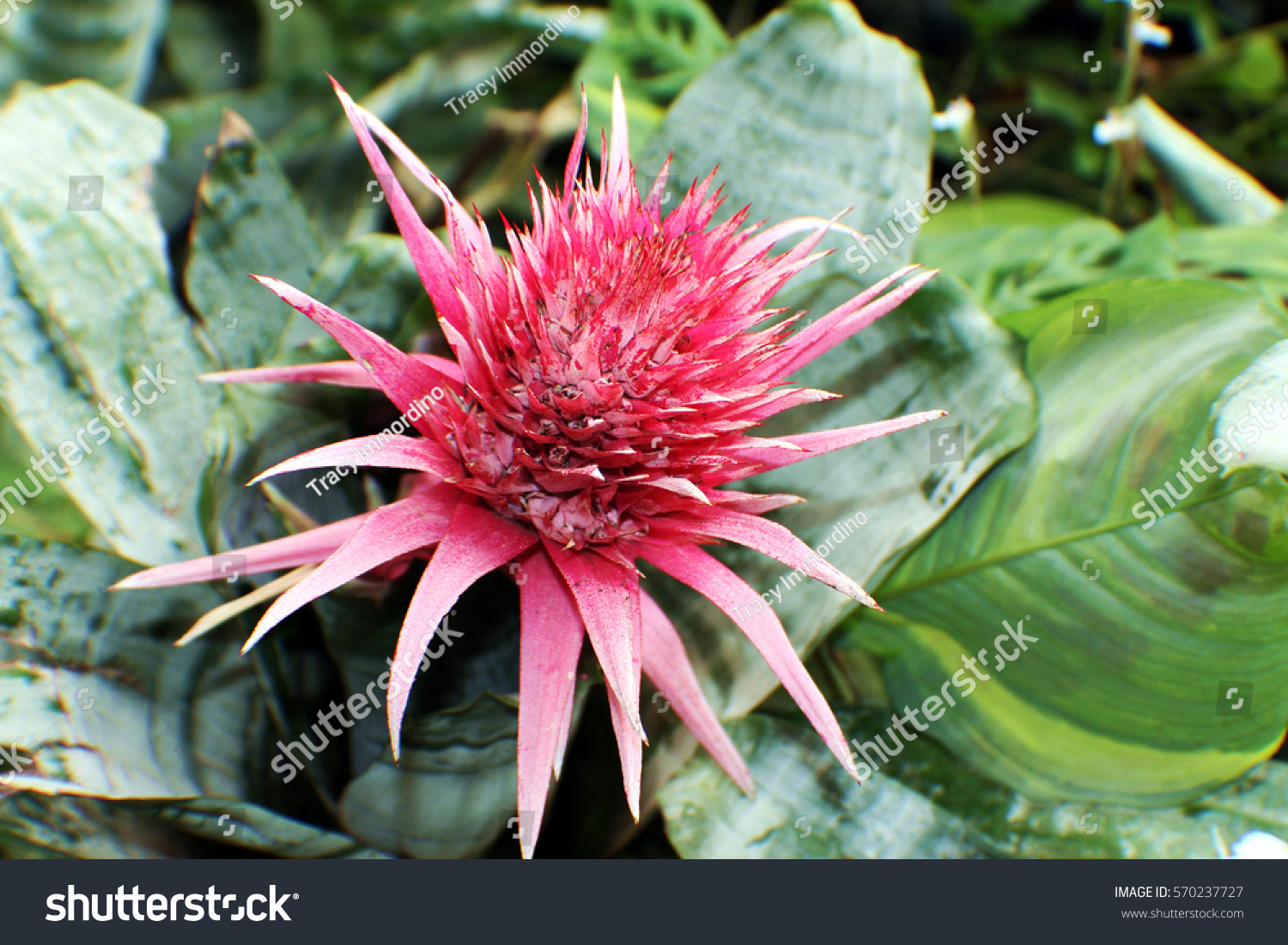 Close large pink flower on aechmea stock photo 100 legal close up of a large pink flower on an aechmea bromeliad plant mightylinksfo