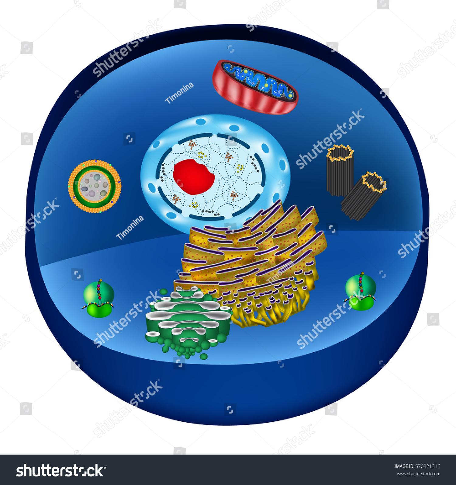 stock photo structure of human cells organelles the core nucleus endoplasmic reticulum golgi apparatus 570321316 structure human cells organelles core nucleus stock illustration