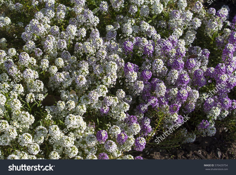 Dainty Mauve White Flowers Lobularia Maritima Stock Photo Edit Now