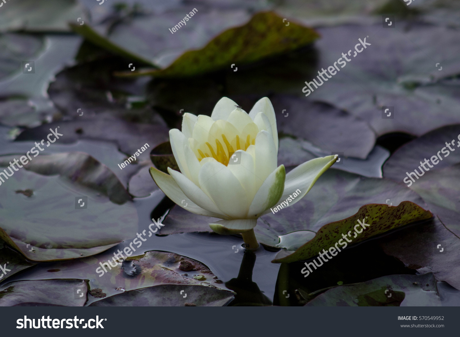 stock-photo-white-water-lily-nymphaea-al